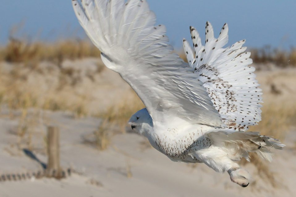 NJ Audubon Snowy Owl